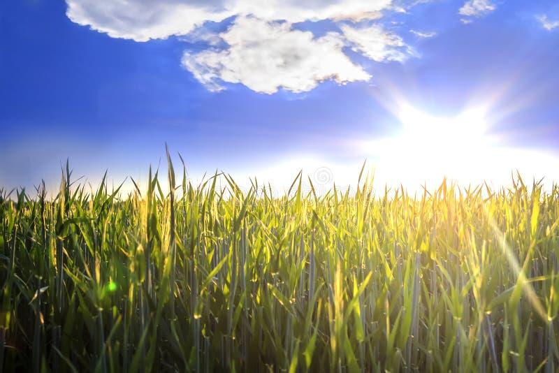 De zon over tarwegebied royalty-vrije stock fotografie
