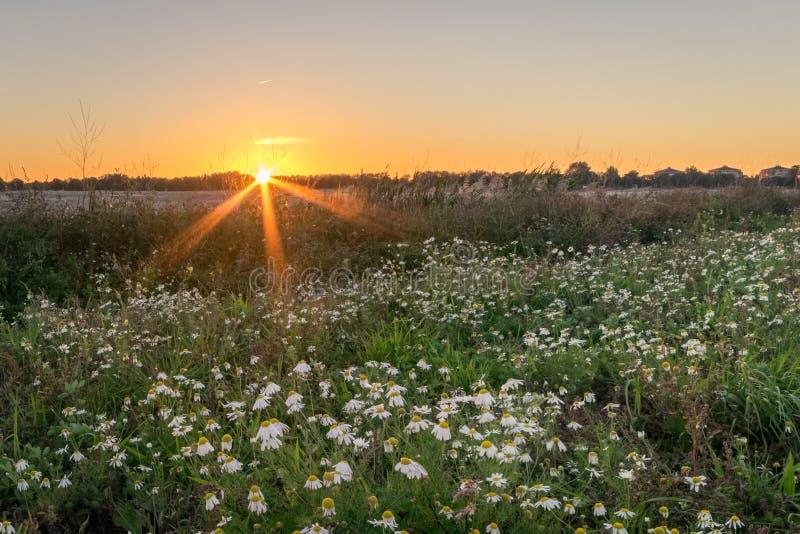 De zon plaatst over een gebied met kamillebloemen stock afbeeldingen