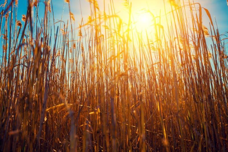 De zon verlicht het riet bij zonsopgang royalty-vrije stock afbeelding