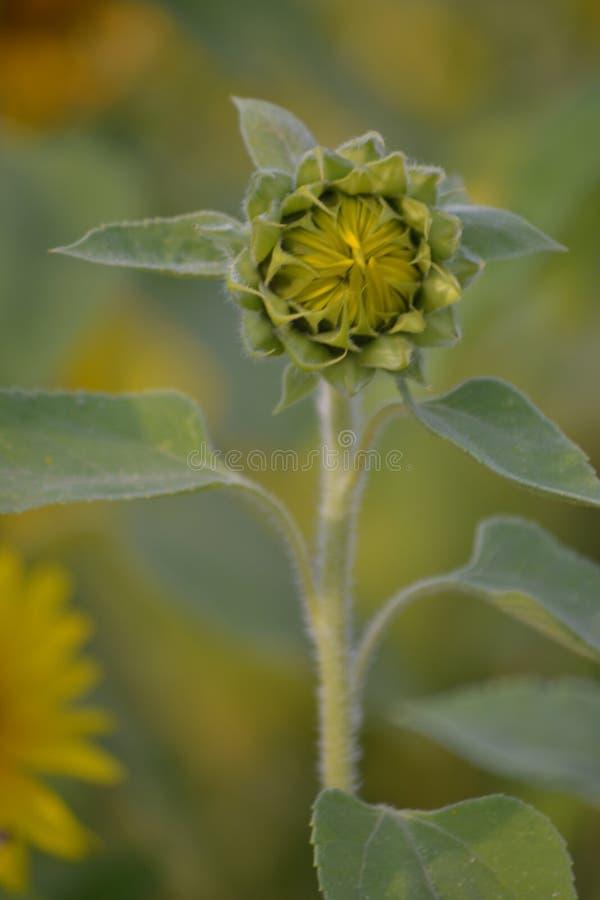 De zonnebloem is bloeiend Grote species van bloemzaden De zomer Gele Bloem Zonnebloem op het gebied Vage achtergrond royalty-vrije stock foto's