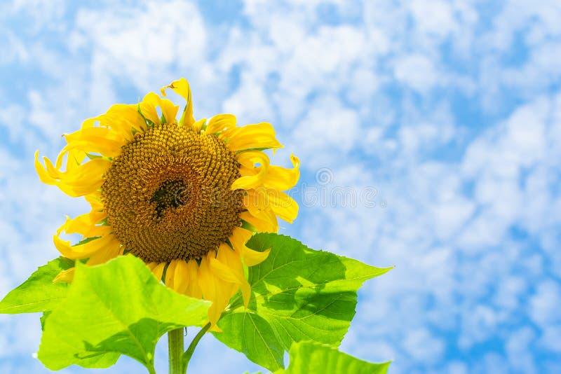 De zonnebloem die tegen een blauwe bewolkte hemel bloeien, sluit omhoog royalty-vrije stock afbeelding