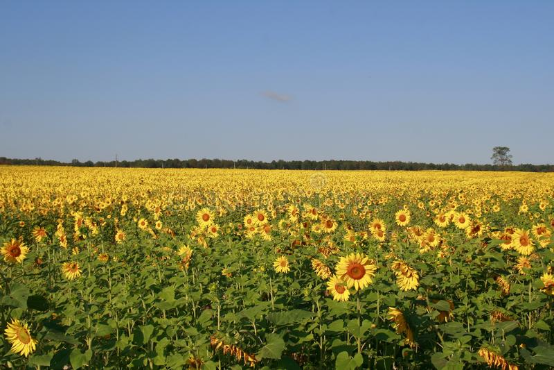 In de zonnebloem groeide het gebied en rijpte stock afbeeldingen