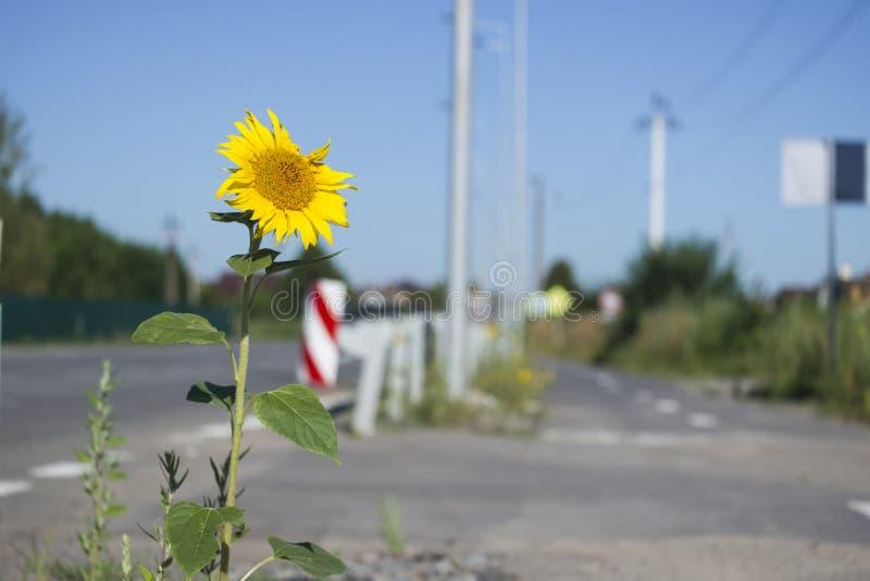 De zonnebloem groeide op de kant van de weg royalty-vrije stock foto's