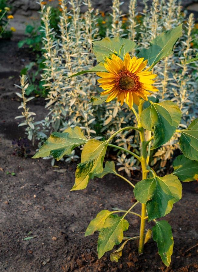 De zonnebloem groeit op bloembed royalty-vrije stock afbeeldingen