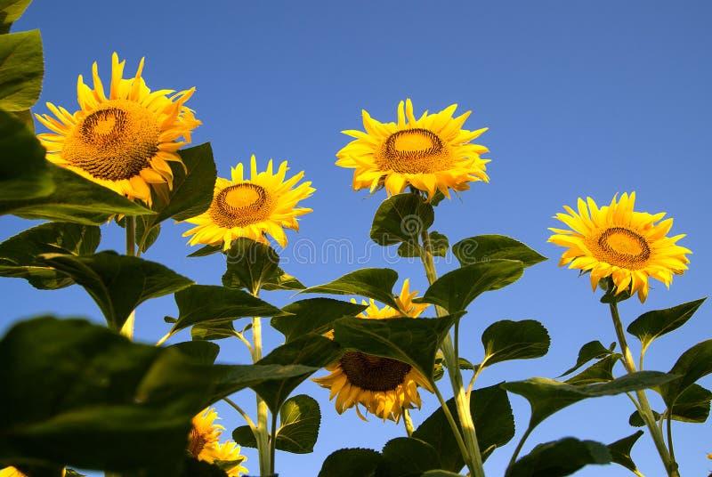 De zonnebloem groeit op een gebied in Zonnig weer stock foto's