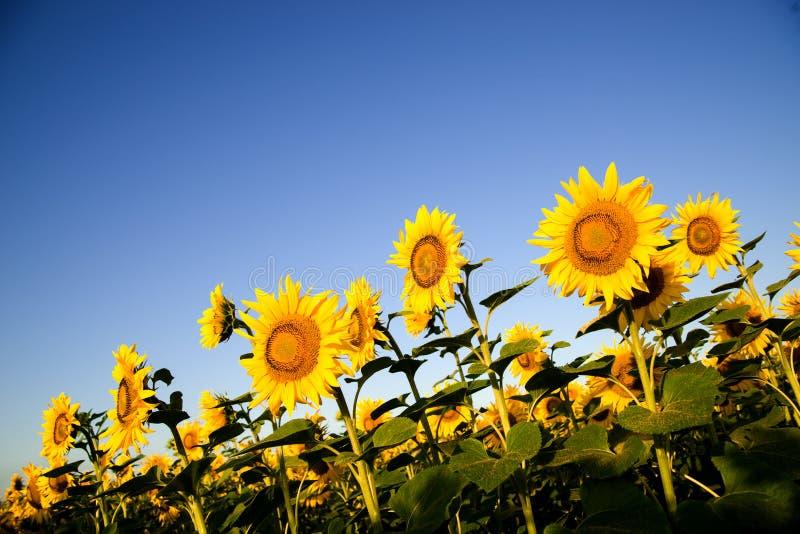 De zonnebloem groeit op een gebied in Zonnig weer stock afbeelding