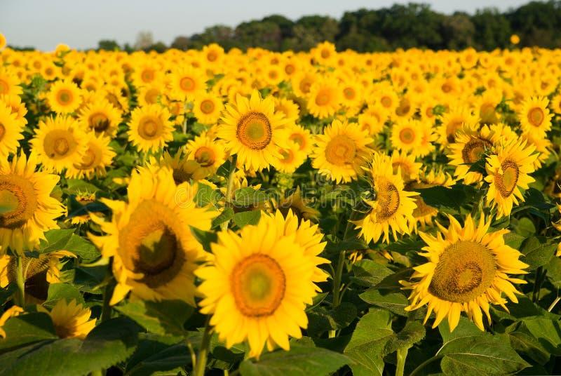 De zonnebloem groeit op een gebied in Zonnig weer royalty-vrije stock foto