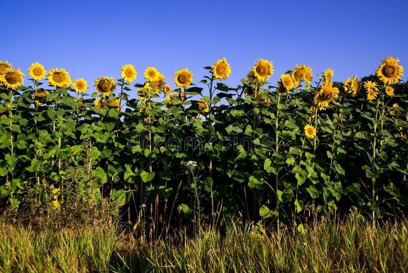 De zonnebloem groeit op een gebied in Zonnig weer royalty-vrije stock fotografie