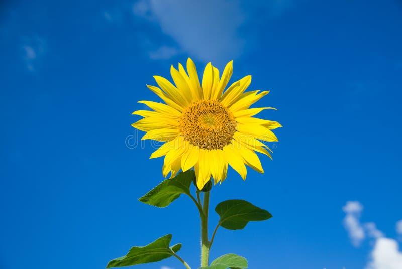 De zonnebloem groeit op een gebied in Zonnig weer stock fotografie