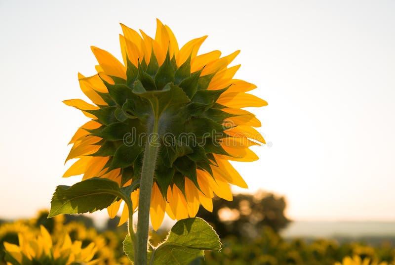 De zonnebloem groeit op een gebied in Zonnig weer stock afbeeldingen