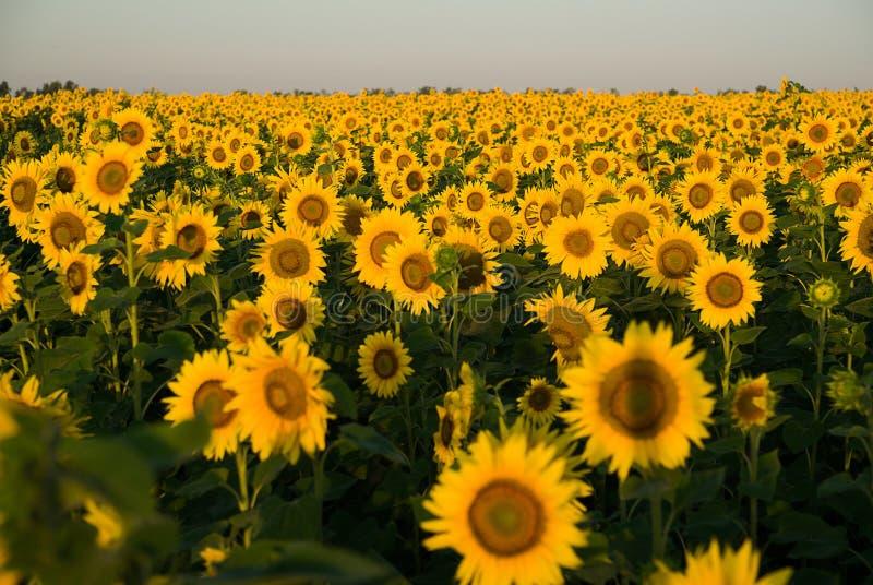 De zonnebloem groeit op een gebied in Zonnig weer royalty-vrije stock afbeeldingen