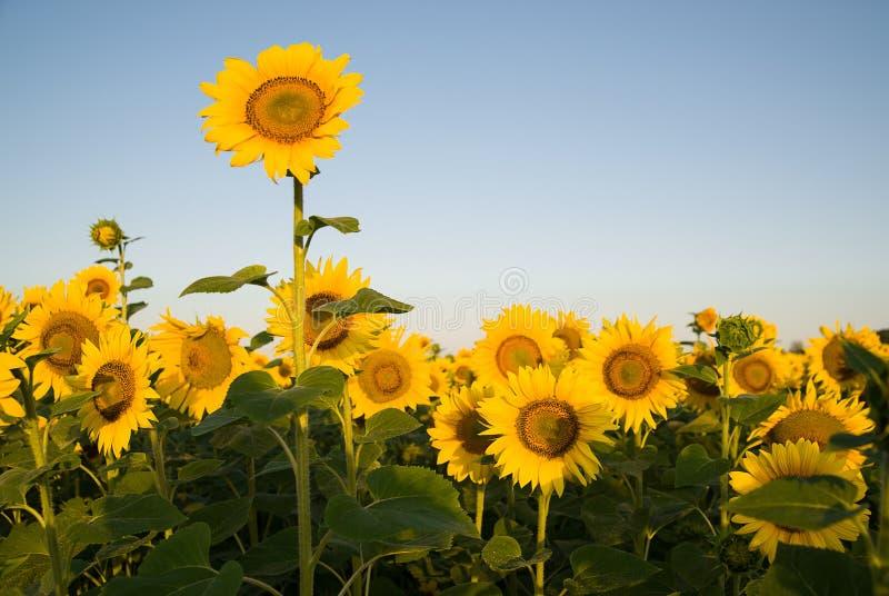 De zonnebloem groeit op een gebied in Zonnig weer royalty-vrije stock foto's