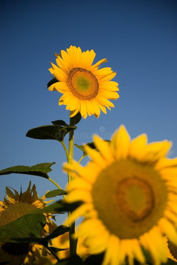 De zonnebloem groeit op een gebied in Zonnig weer royalty-vrije stock afbeelding