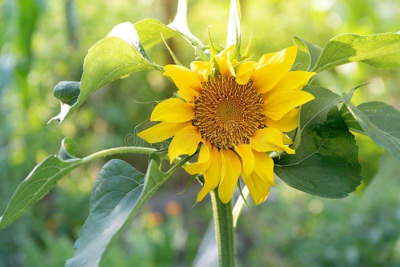 De zonnebloem groeit op het gebied, de zomertijd royalty-vrije stock fotografie