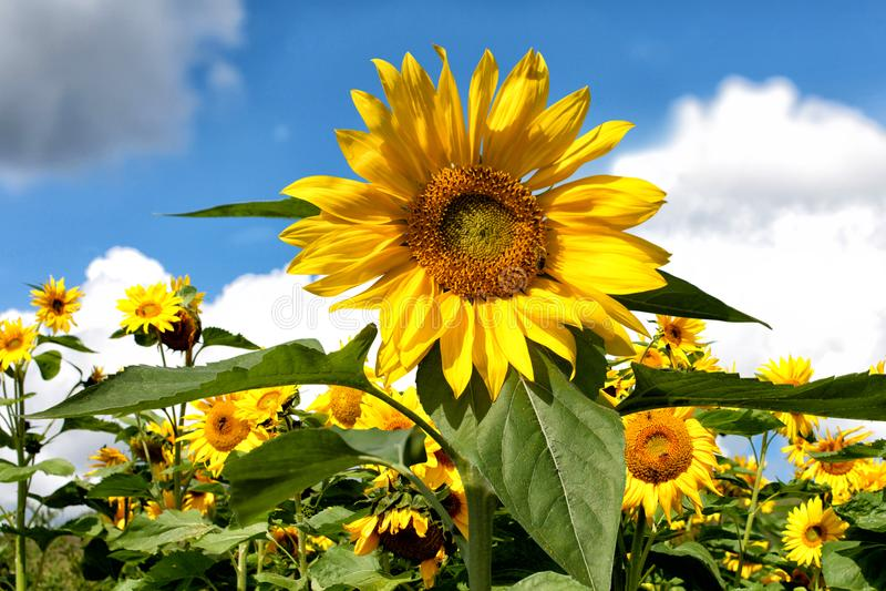 De zonnebloem groeit tegen de achtergrond van andere zonnebloemen en blauwe hemel en wolken stock afbeeldingen