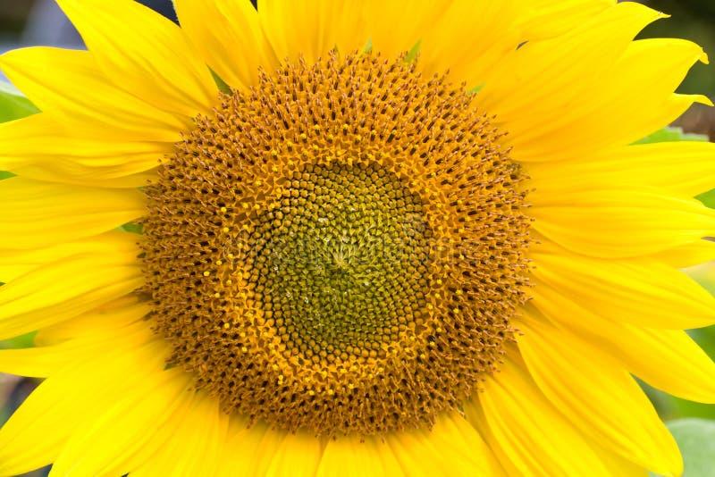 De zonnebloem van de close-up royalty-vrije stock afbeelding