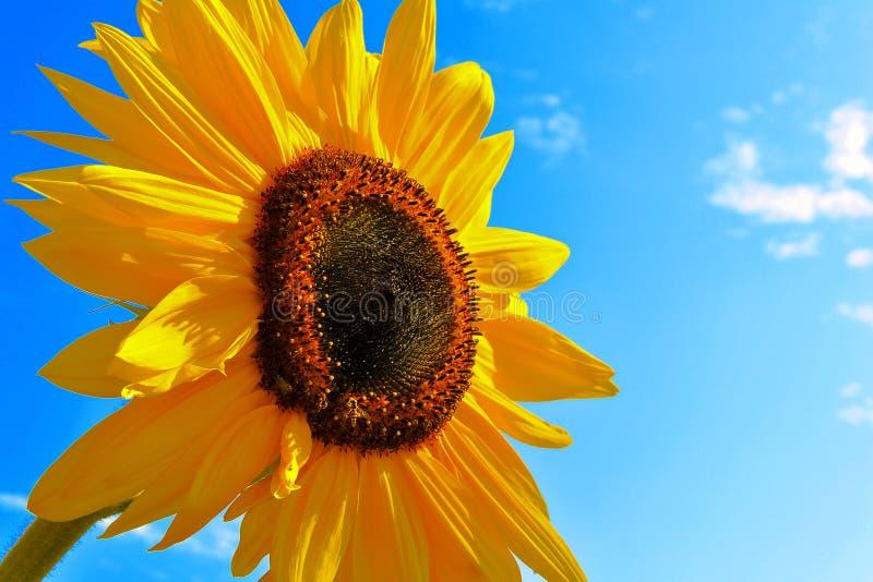 De zonnebloem van de zomer stock foto's