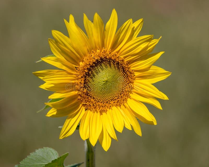 De zonnebloem wekt aan een Nieuwe Dag royalty-vrije stock fotografie