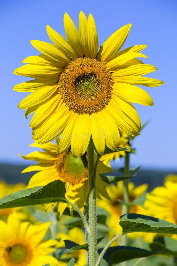 De zonnebloemen op het gebied in de zomer, sluiten omhoog royalty-vrije stock fotografie