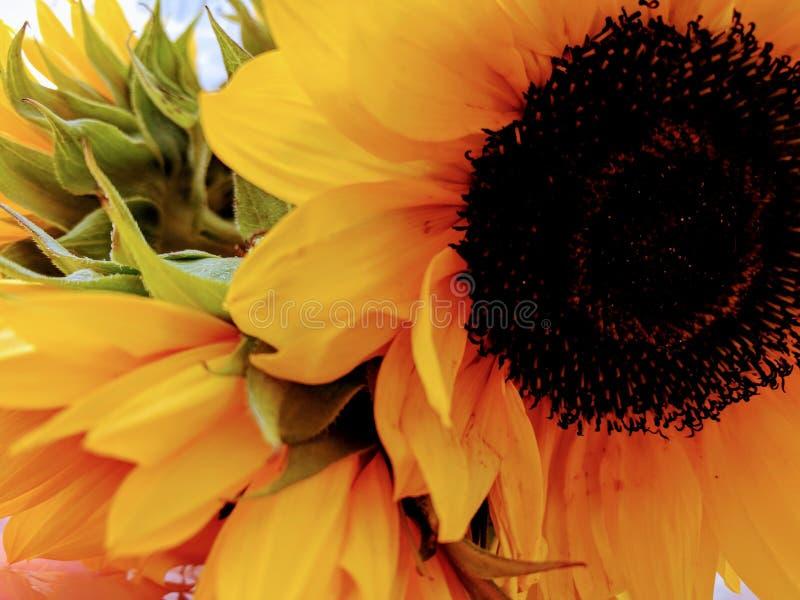 De zonnebloemen sluiten omhoog royalty-vrije stock afbeelding