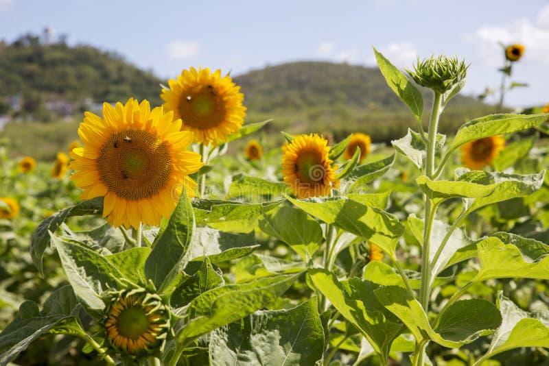 De zonnebloemen symboliseren bewondering, loyaliteit en levensduur stock afbeelding