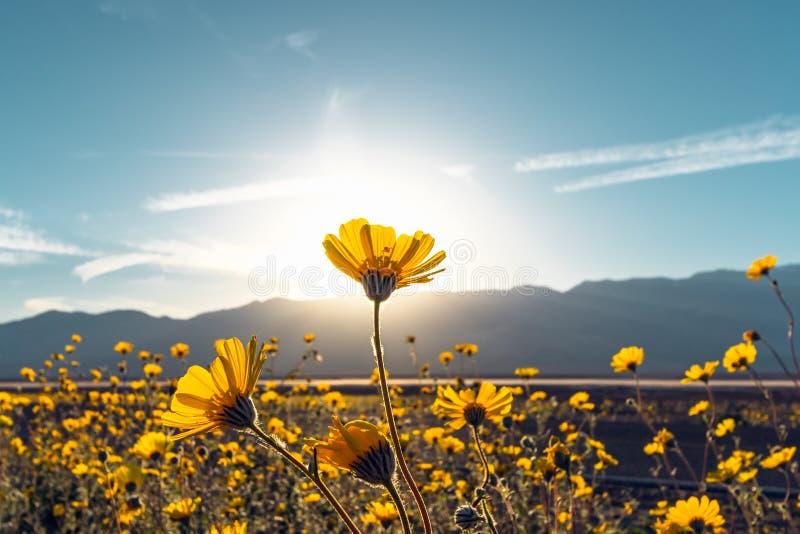 De Zonnebloemen van de woestijnbloesem bij Zonsondergang, het Nationale Park van de Doodsvallei, Californië stock foto's