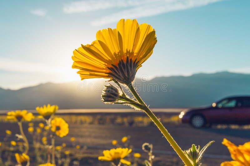 De Zonnebloemen van de woestijnbloesem bij Zonsondergang, het Nationale Park van de Doodsvallei, Californië stock foto