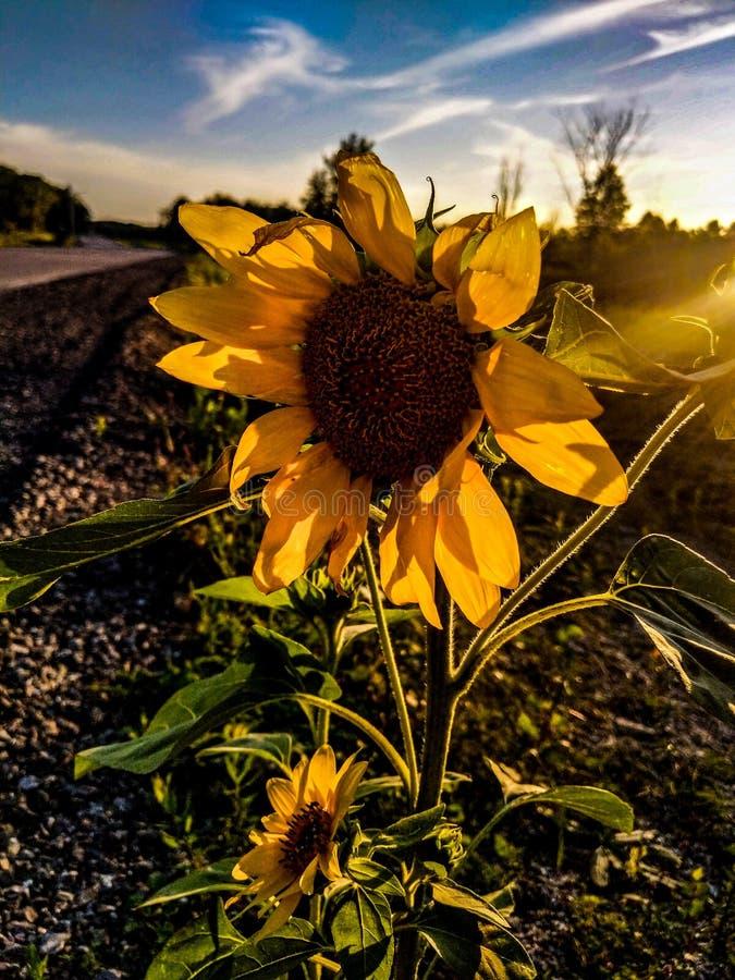 De zonnebloemen zijn verschillend maar mooi stock foto's