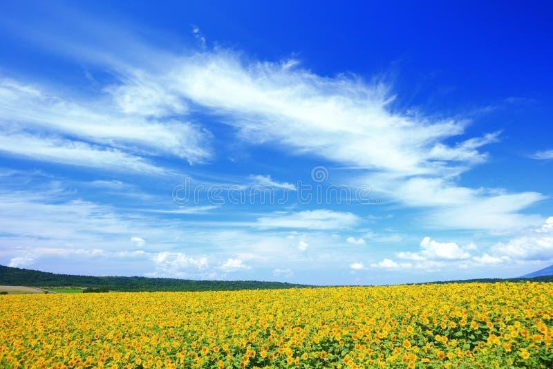 De zonnebloemgebied van de zomer stock afbeeldingen