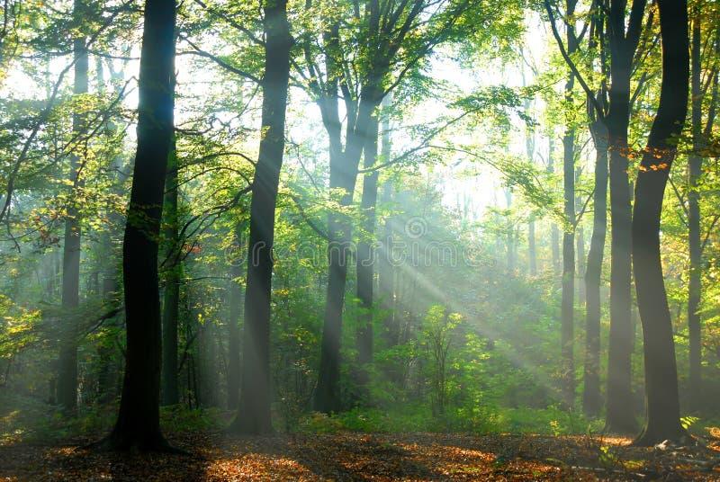 De zonnestralen gieten in een de herfstbos royalty-vrije stock fotografie