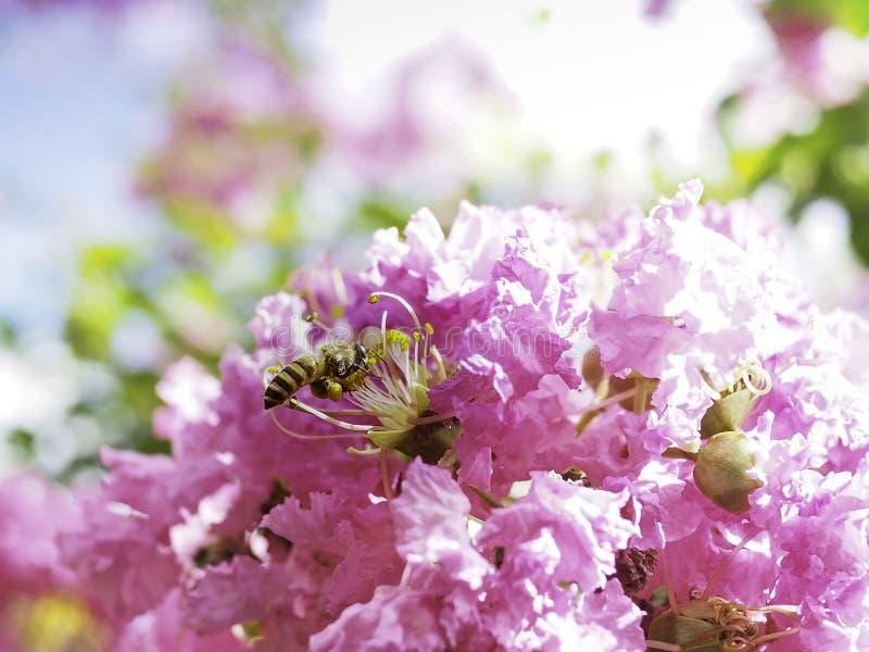 In de zonnige dag, geniet van de bij vliegend aan onderzoek naar de honing onder de mooie rozeachtige bloem royalty-vrije stock afbeeldingen