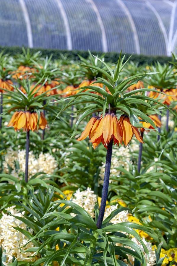 De zonsondergang, Fritillaria-imperialis bekroont de keizer, keizer fritillary of kroon van Kaiser ` s, species van bloeiende ins royalty-vrije stock afbeeldingen