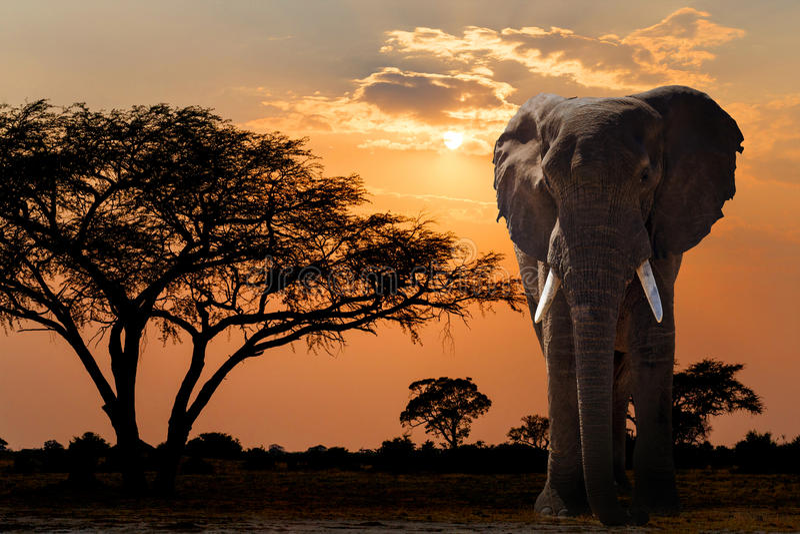 De zonsondergang van Afrika over acaciaboom en olifant royalty-vrije stock foto