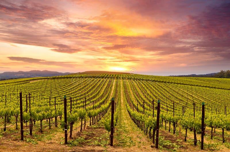 De Zonsondergang van de de Wijngaardenlente van de Napavallei stock afbeeldingen