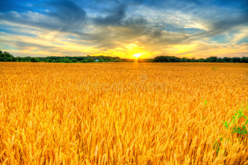 De zonsondergang van de tarwe royalty-vrije stock afbeeldingen