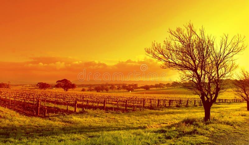 De Zonsondergang van het Landschap van de wijngaard stock afbeeldingen