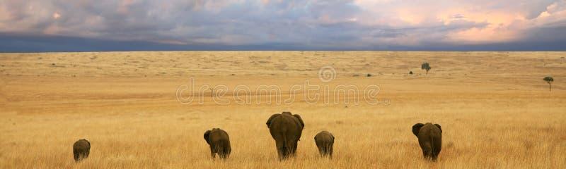 De zonsondergang van olifanten stock foto's