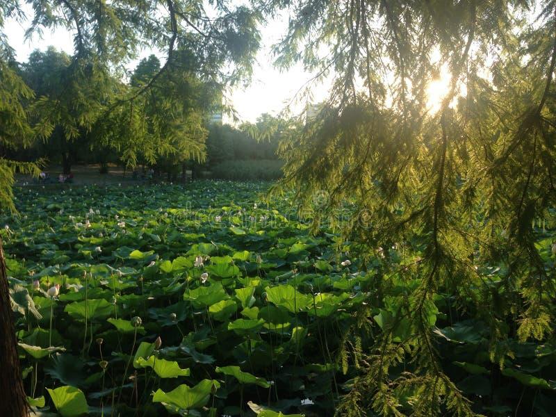De zonsondergangmeer van het waterleliepark stock afbeelding