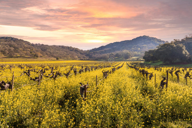 De Zonsopgang van de de Wijngaardenlente van de Napavallei royalty-vrije stock afbeelding