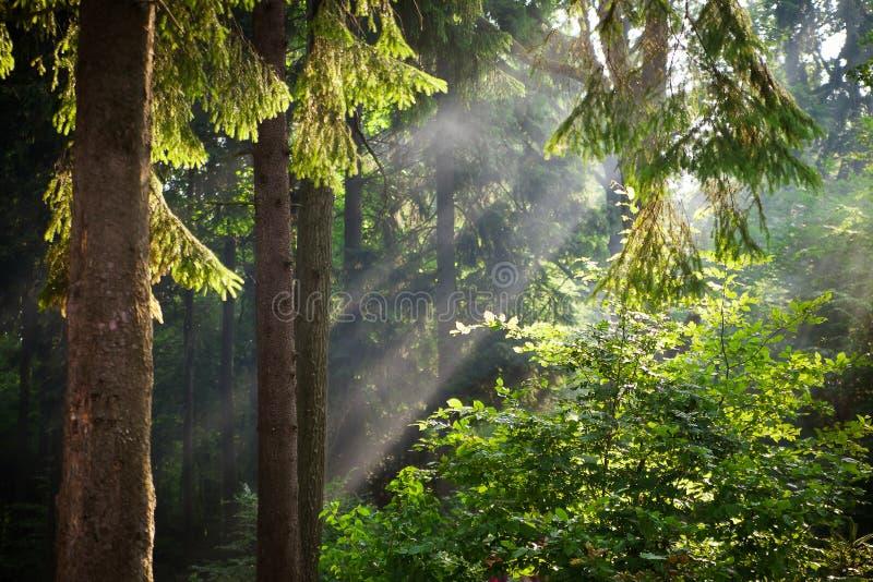 De zonstralen gieten door bomen in groen bos royalty-vrije stock afbeelding