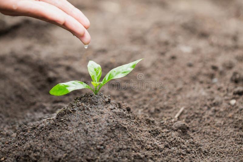 De zorg en het water geven van de boom met de hand, de handen druipen water aan de kleine zaailingen, planten een boom, verminder stock afbeelding