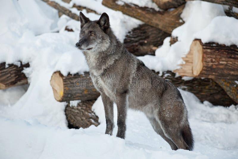 De zorgvuldige zwarte Canadese wolf bevindt zich op een witte sneeuw Pambasileus van de Caniswolfszweer royalty-vrije stock afbeeldingen
