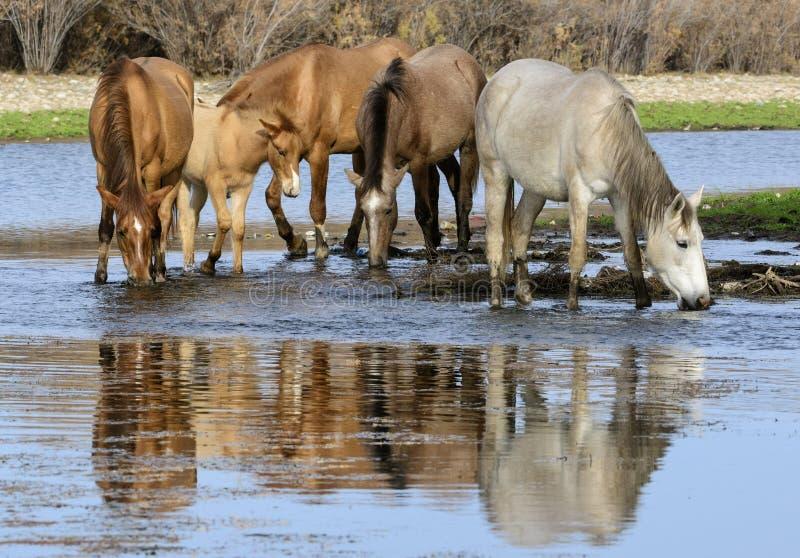 De zoute band van het Rivierwild paard stock afbeeldingen