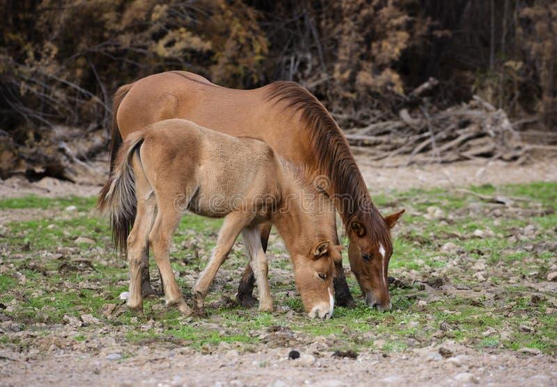 De zoute familie van het Rivierwild paard royalty-vrije stock afbeeldingen