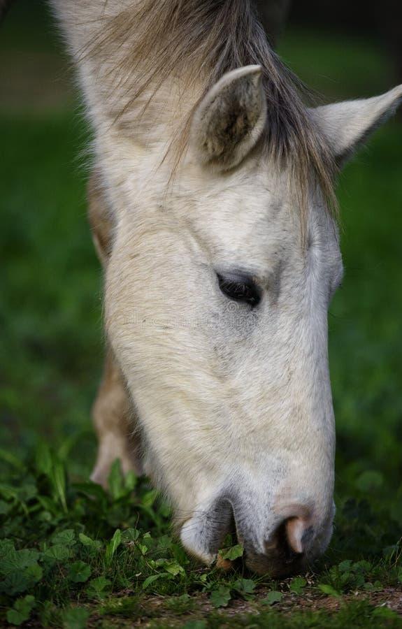 De zoute weidende close-up van het Rivierwild paard royalty-vrije stock foto's