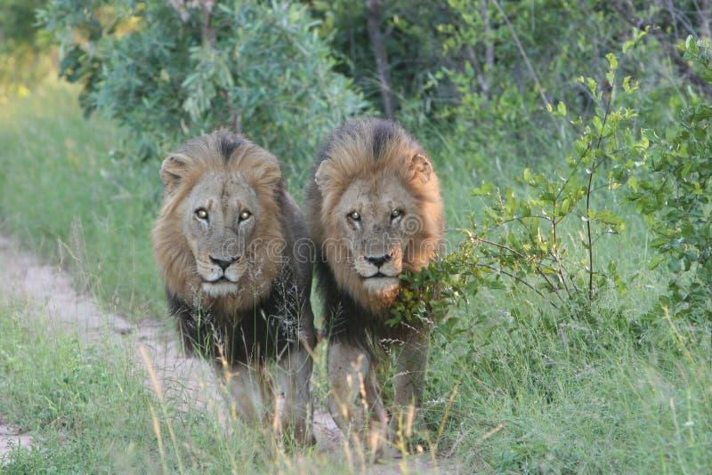 De Zuidafrikaanse Safari van leeuwen stock afbeelding