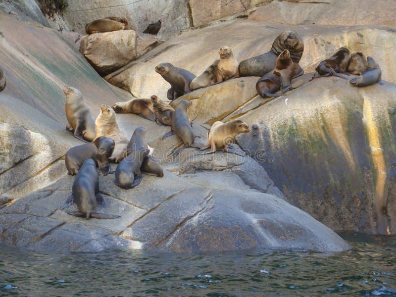 De Zuidamerikaanse kolonie van zeeleeuwotaria flavescens in Zuidelijk Chili stock foto's