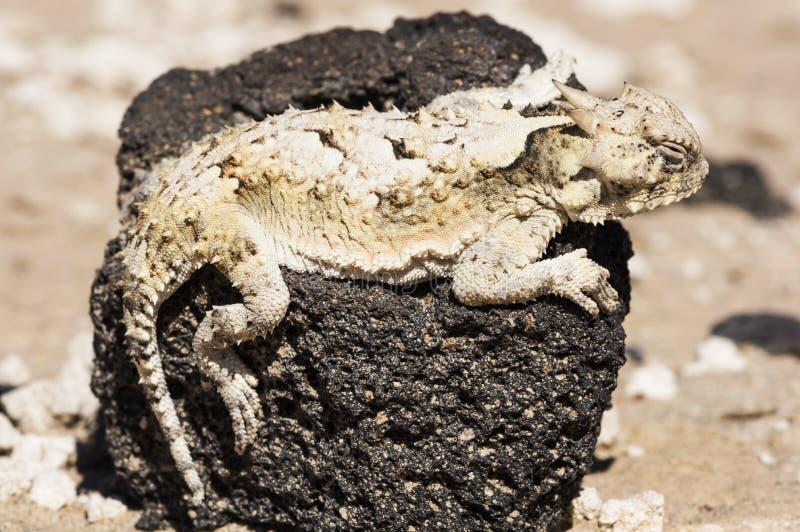 De zuidelijke Gehoornde Hagedis van de Woestijn stock foto's