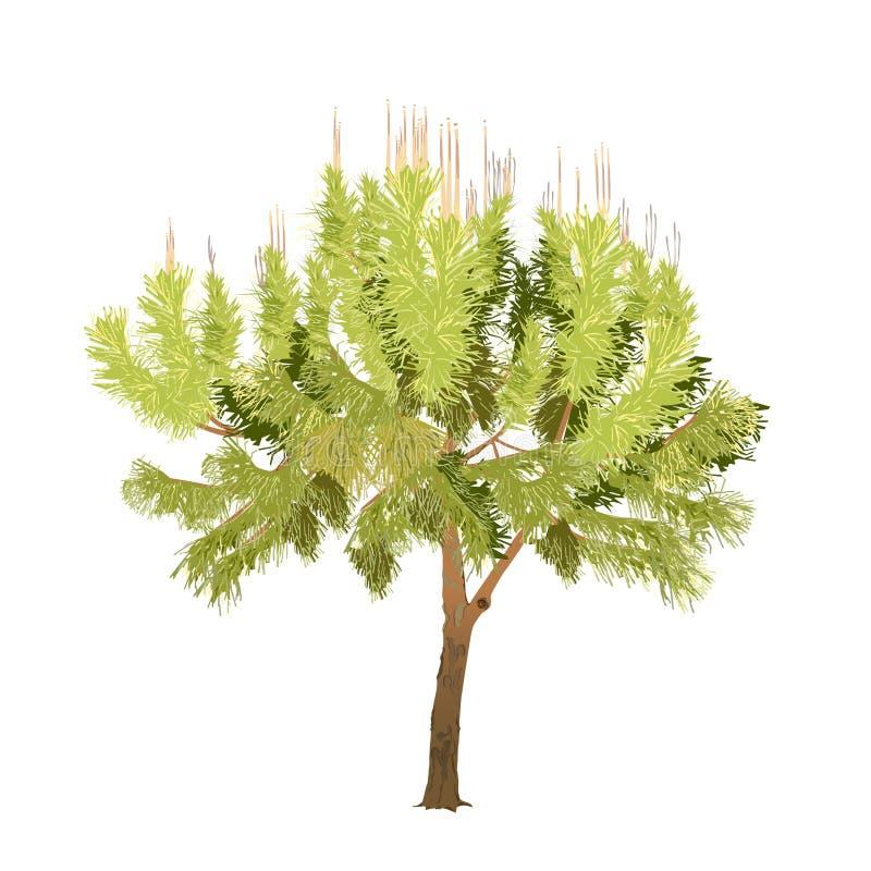 De zuidelijke pijnboom met jonge vlucht in kleur stock illustratie