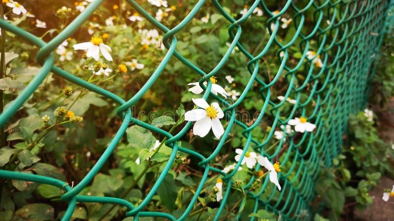 De zuivere witte uiterst kleine bloemblaadjes en het gele stamper blomming op groene bladereninstallatie tussen groen draadnetwer stock afbeelding